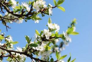 Kirschblüte mail